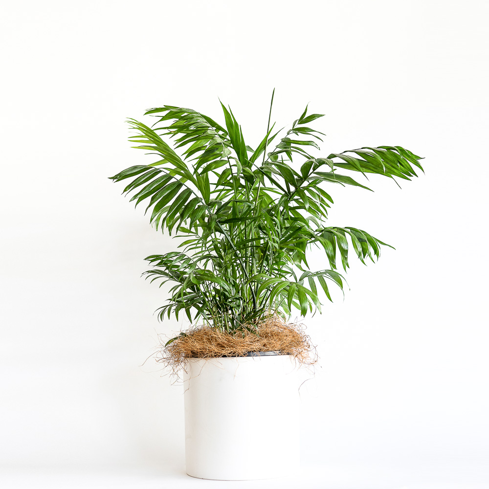 Parlour palm in white ceramic pot, Melbourne Metro delivery only.