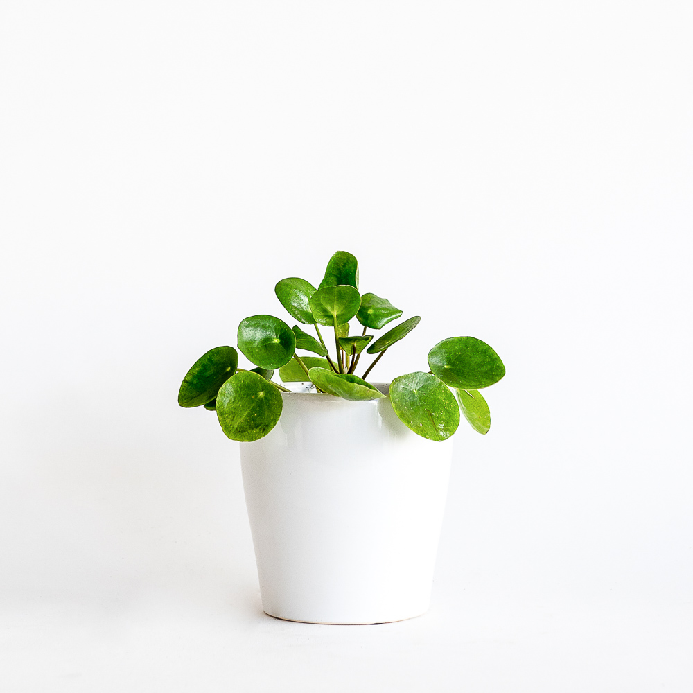 Coin Leaf Pilia Gift Plant in Ceramic Pot - Melbourne delivery