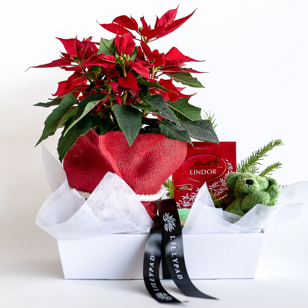 A little gift for the whole family containing red poinsettia plant, Ecoya candle, Lindt chocolates, sleeping christmas teddy.