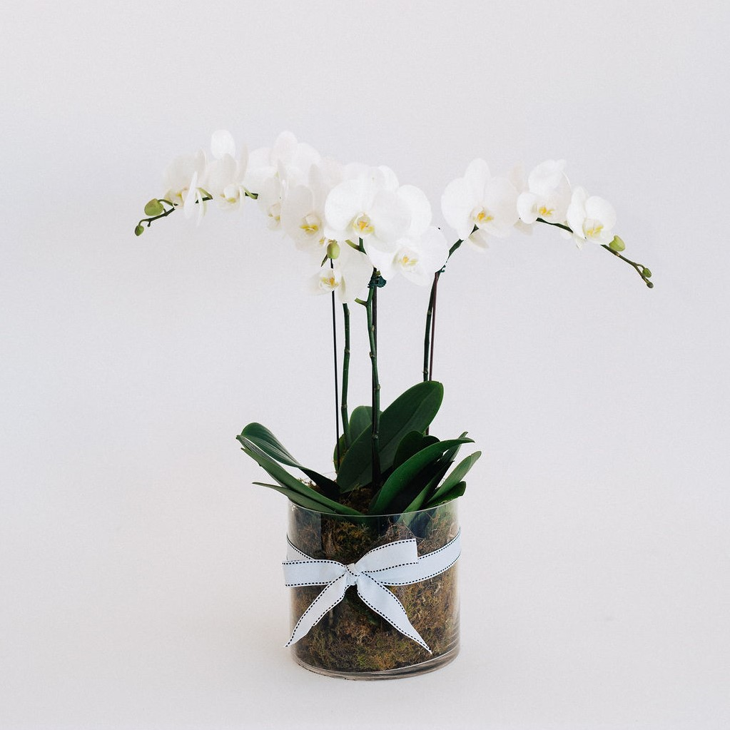 Triple stem white phalaenopsis plant arranged into a clear glass vase with moss.